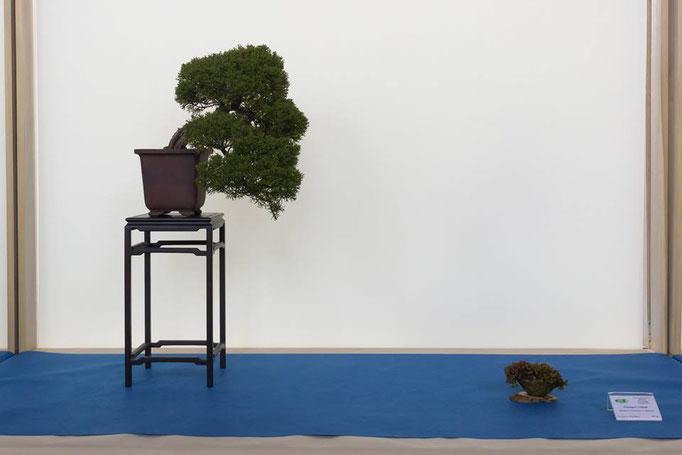 Juniperus chinensis - Mondobonsai