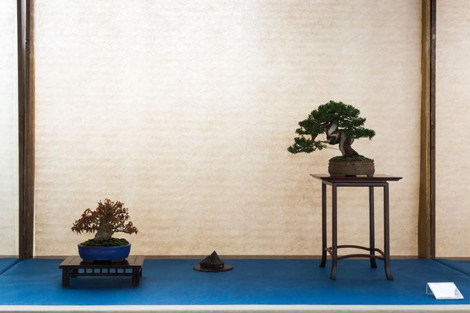 Acero palmato e juniperus chinensis - Studio Botanico
