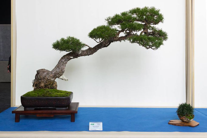 Pino silvestre - Bonsai Club Martesana