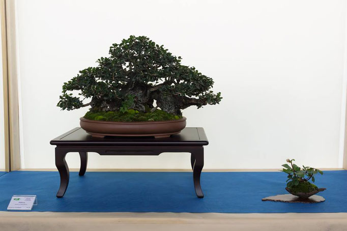 Phillyrea - Bonsai do Groane