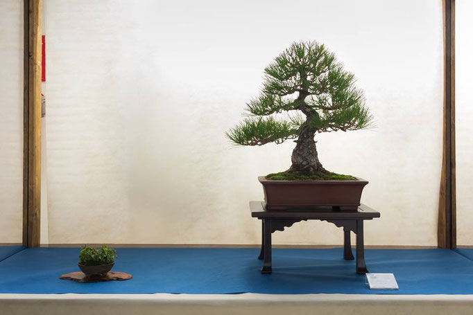 Pino nero - Bonsai Club Martesana