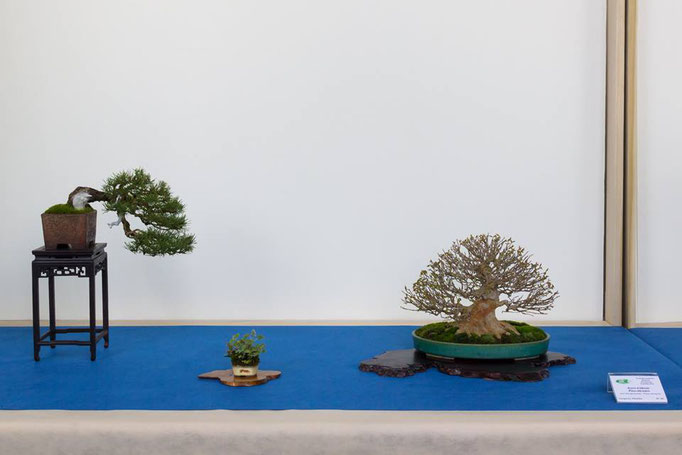 Pino silvestre e acero buergerianum - Studio Botanico