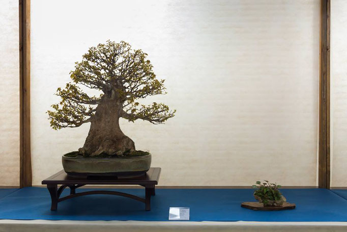 Acero Buergerianum - Bonsai Club Martesana