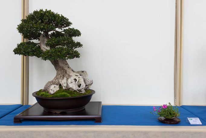 Olivastro - Bonsai Club Rivalta