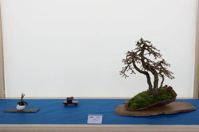 Larix decidua - Associazione Bonsai il Moro