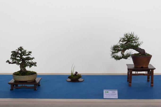 Cotoneaster e pinus nigra - Associazione Bonsai il Moro