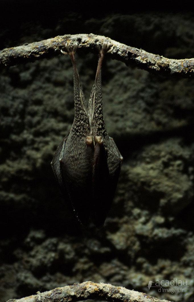 Chauve-souris- mammifère en Sologne ©Alexandre Roubalay - Acadiau d'images