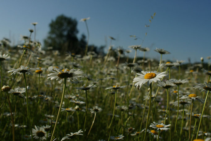 Margueritte - flore et photo nature en Sologne ©Alexandre Roubalay - Acadiau d'images
