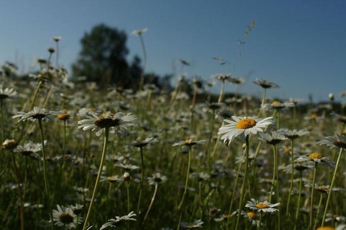 Margueritte - flore et photo nature en Sologne ©Alexandre Roubalay - Acadiau d'images