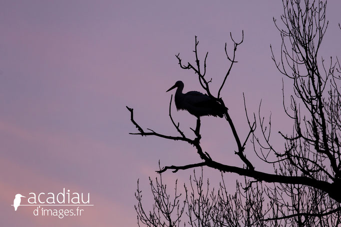Cigogne  - photo nature ©Alexandre Roubalay - Acadiau d'Images