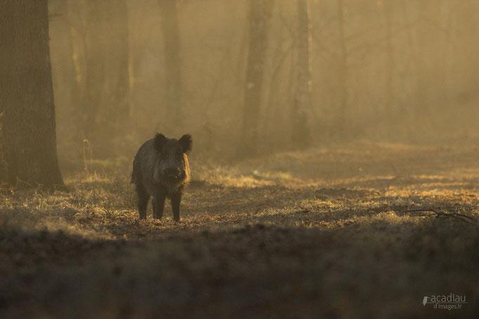 Sanglier - mammifère en Sologne ©Alexandre Roubalay - Acadiau d'images