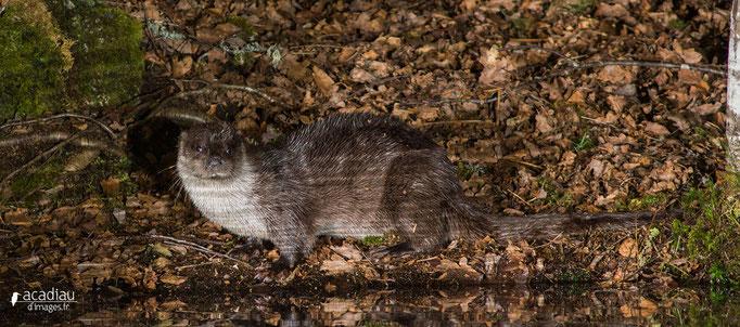 Loutre sauvage d'Europe - mammifère ©Alexandre Roubalay - Acadiau d'images