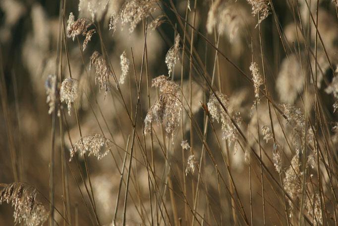 Phragmitte - flore et photo nature en Sologne ©Alexandre Roubalay - Acadiau d'images