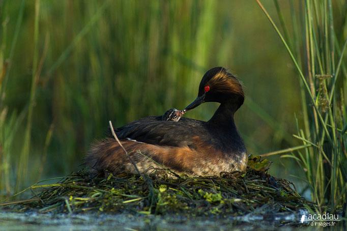 Grèbe à cou noir - oiseau en Sologne - photo nature  ©Alexandre Roubalay - Acadiau d'Images