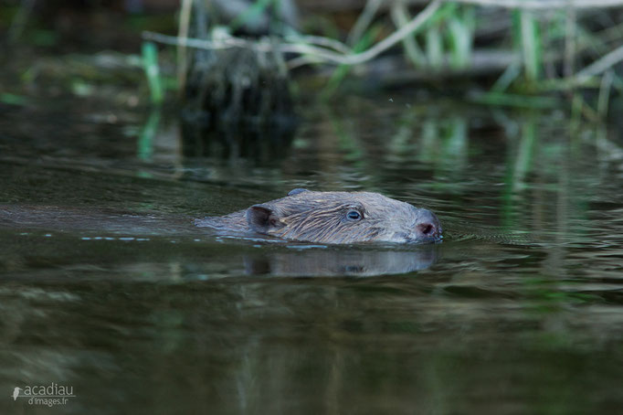 Castor - mammifère de Loire ©Alexandre Roubalay - Acadiau d'images