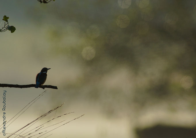 Martin-pêcheur - oiseau en Sologne - photo nature  ©Alexandre Roubalay - Acadiau d'Images