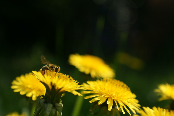 Abeille sur pissenlit - photo nature en Sologne ©Alexandre Roubalay - Acadiau d'images