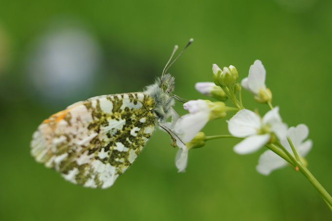 Papillon Aurore - photo nature en Sologne ©Alexandre Roubalay - Acadiau d'images