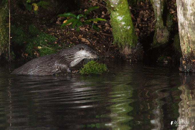Loutre - mammifère ©Alexandre Roubalay - Acadiau d'images