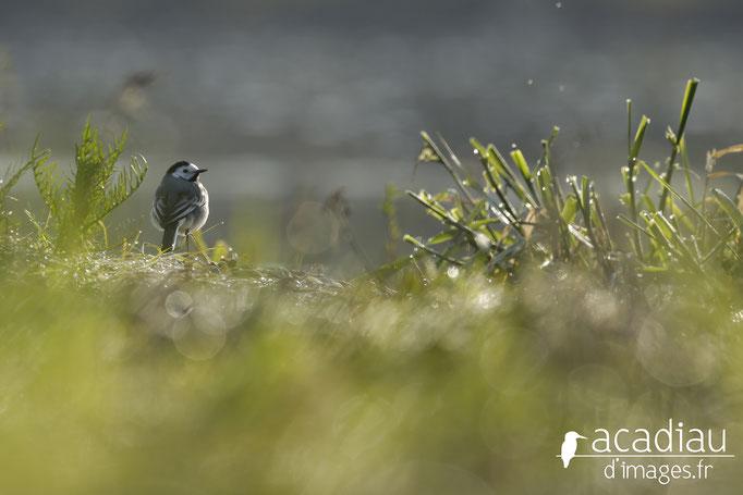 Bergeronette - photo nature ©Alexandre Roubalay - Acadiau d'Images