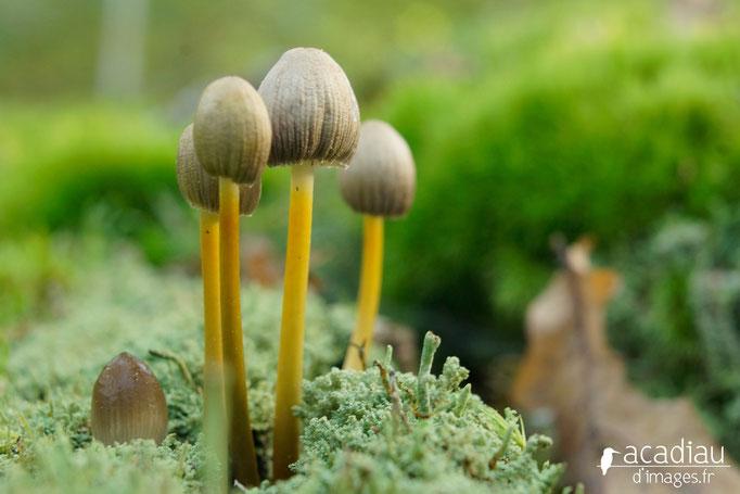 Champignon photo nature en Sologne ©Alexandre Roubalay - Acadiau d'images
