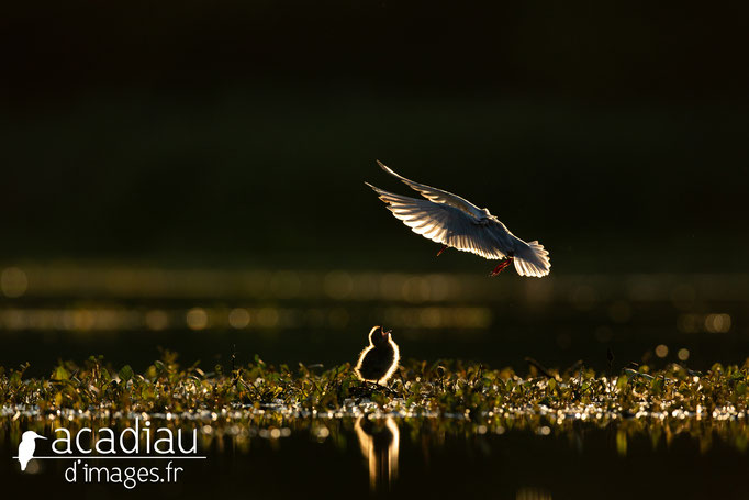 Guifette moustac  - photo nature ©Alexandre Roubalay - Acadiau d'Images