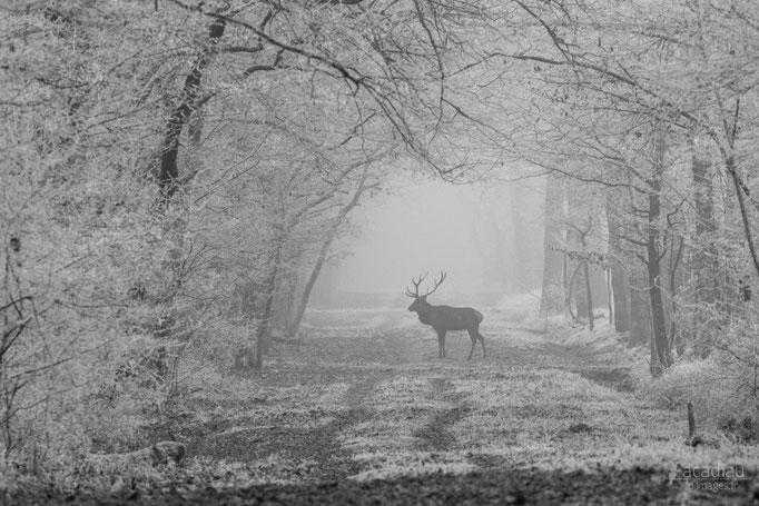 Cerf - mammifère en Sologne ©Alexandre Roubalay - Acadiau d'images