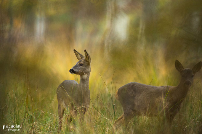 Chevreuil au soir- mammifère en Sologne ©Alexandre Roubalay - Acadiau d'images