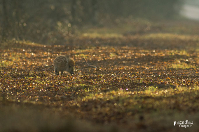 Marcasin - mammifère en Sologne ©Alexandre Roubalay - Acadiau d'images
