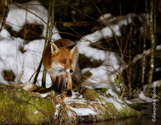 Renard - mammifère en Sologne ©Alexandre Roubalay - Acadiau d'images