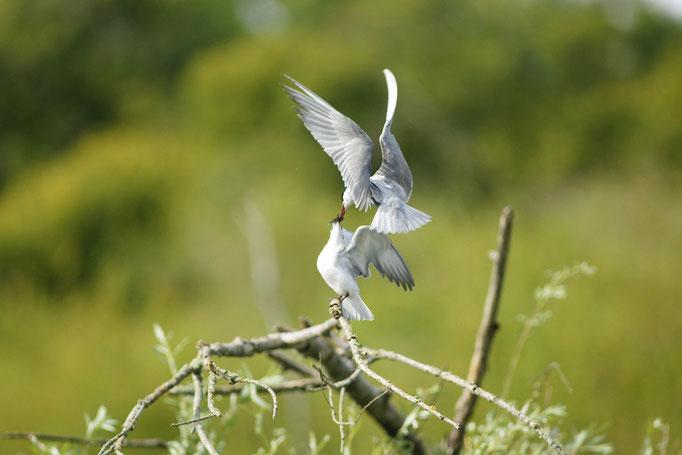 Guifette moustac - oiseau en Sologne  - photo nature ©Alexandre Roubalay - Acadiau d'Images