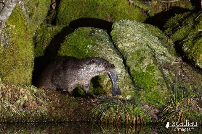 Loutre - mammifère ©Alexandre Roubalay - Acadiau d'images