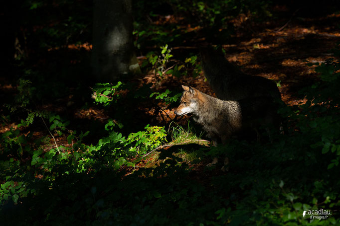 Loup- Bayerischerwald ©Alexandre Roubalay - Acadiau d'images
