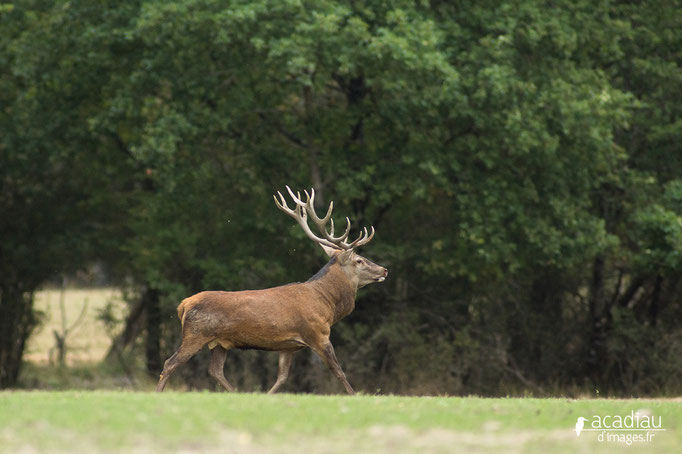 Cerf au brame - photo nature en Sologne ©Alexandre Roubalay - Acadiau d'images
