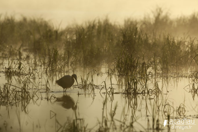 Aigrette en Loire  - photo nature ©Alexandre Roubalay - Acadiau d'Images