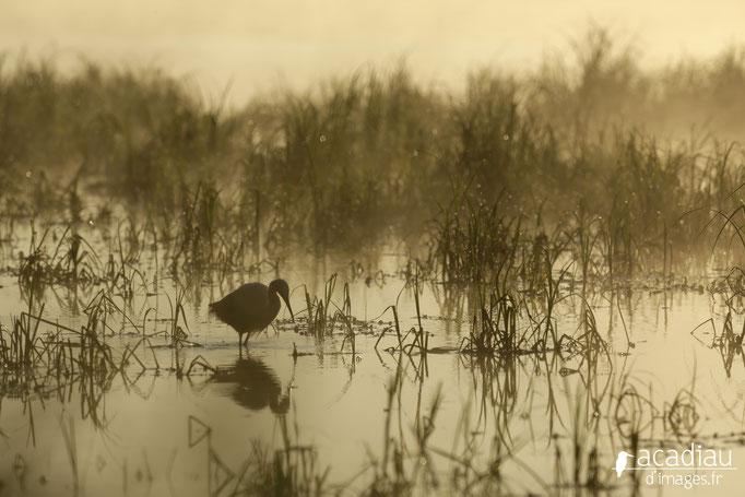 Aigrette en Loire  - photo nature ©Alexandre Roubalay - Acadiau d'Images