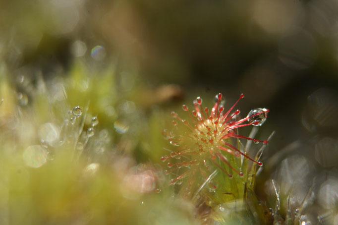 Droséra - flore et photo nature en Sologne ©Alexandre Roubalay - Acadiau d'images