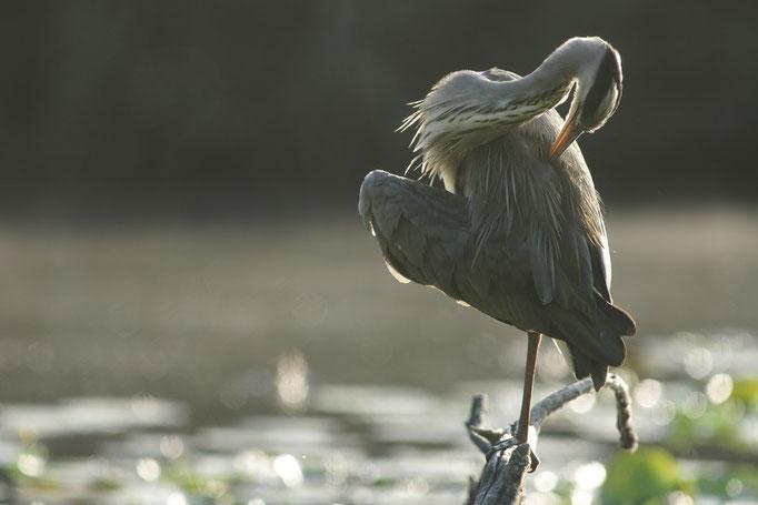 Héron cendré - oiseau en Sologne - photo nature  ©Alexandre Roubalay - Acadiau d'Images