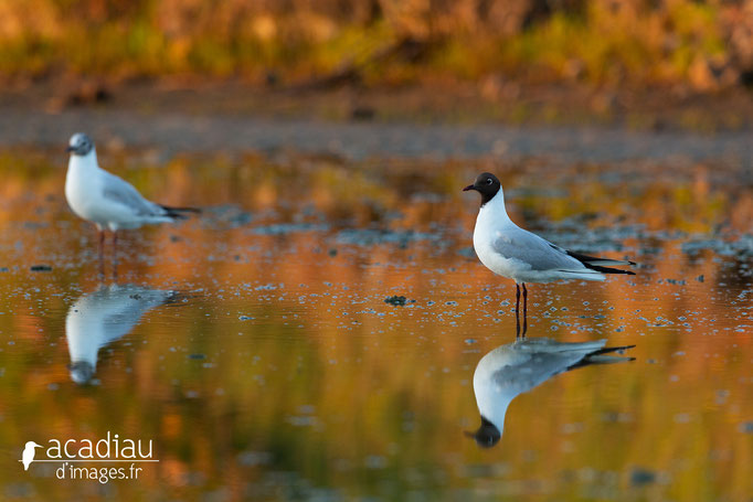 Mouette rieuse - photo nature  ©Alexandre Roubalay - Acadiau d'Images