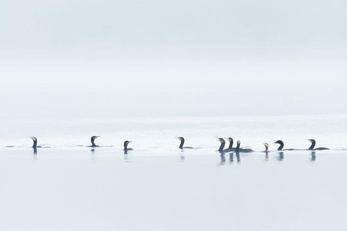 Cormoran - oiseau en Sologne - photo nature  ©Alexandre Roubalay - Acadiau d'Images