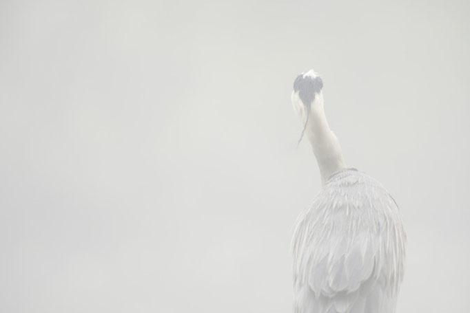 Héron cendré - oiseau en Sologn - photo nature e ©Alexandre Roubalay - Acadiau d'Images
