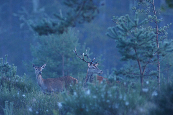 Cerf et biche - photo nature en Sologne ©Alexandre Roubalay - Acadiau d'images