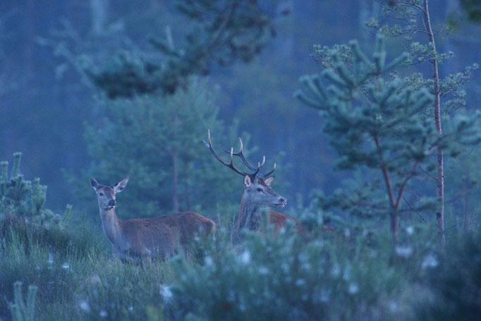 Cerf et biche - Brame du cerf en Sologne - photo nature en Sologne ©Alexandre Roubalay - Acadiau d'images