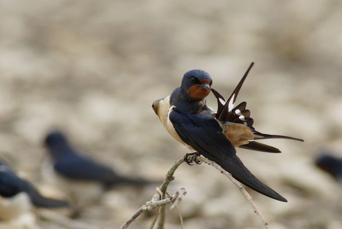Hirondelle rustique - oiseau en Sologne - photo nature  ©Alexandre Roubalay - Acadiau d'Images