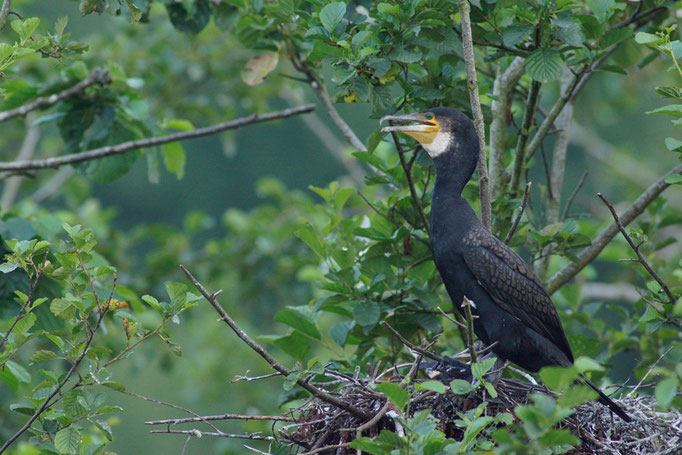 Cormoran - oiseau en Sologne - photo nature  ©Alexandre Roubalay - Acadiau d'Images