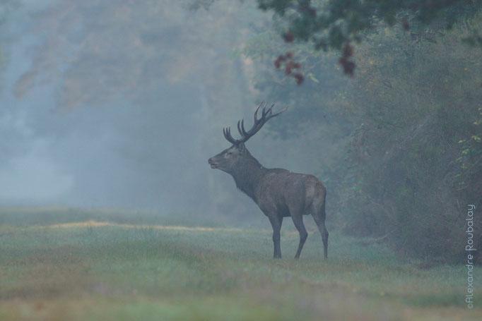 Brame du cerf en Sologne - photo nature en Sologne ©Alexandre Roubalay - Acadiau d'images