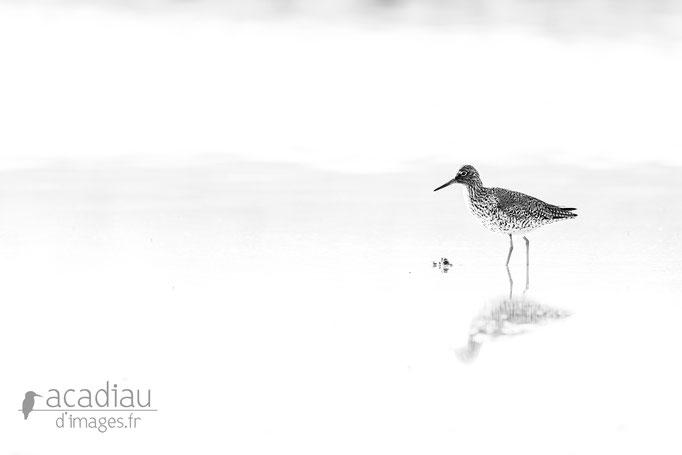Chevalier gambette - photo nature  ©Alexandre Roubalay - Acadiau d'Images