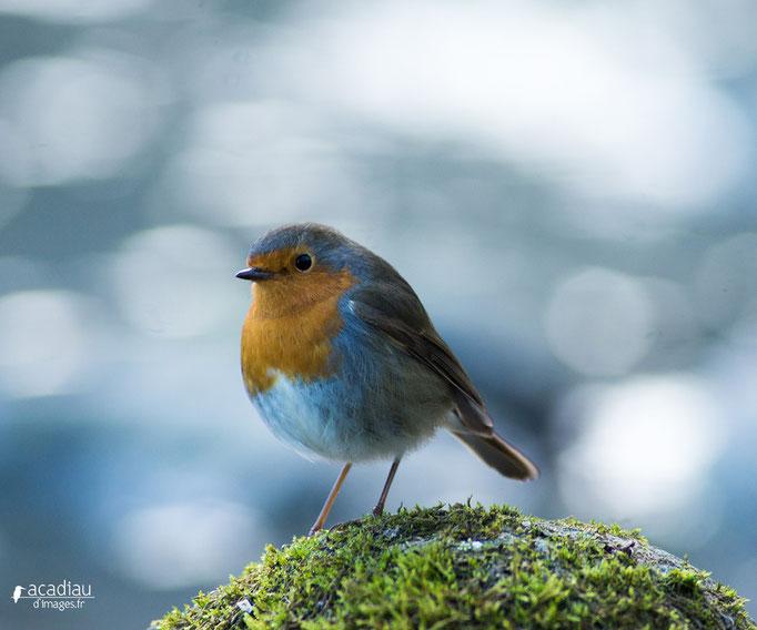 Rouge gorge - oiseau en Sologne - photo nature  ©Alexandre Roubalay - Acadiau d'Images