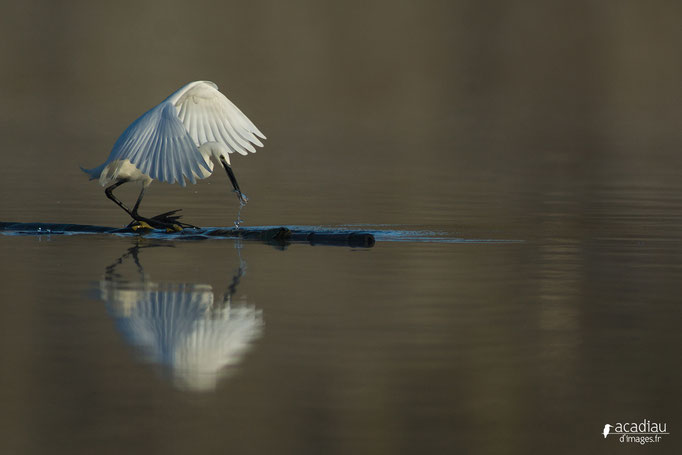 Aigrette-Garzette - oiseau en Sologne - photo nature  ©Alexandre Roubalay - Acadiau d'Images