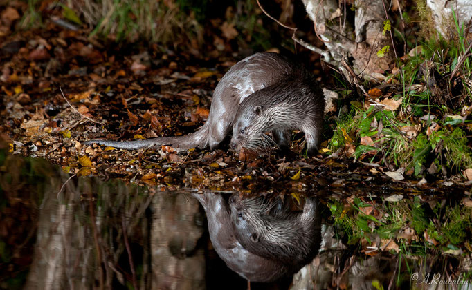 Loutre sauvage d'Europe - mammifère ©Alexandre Roubalay - Acadiau d'images